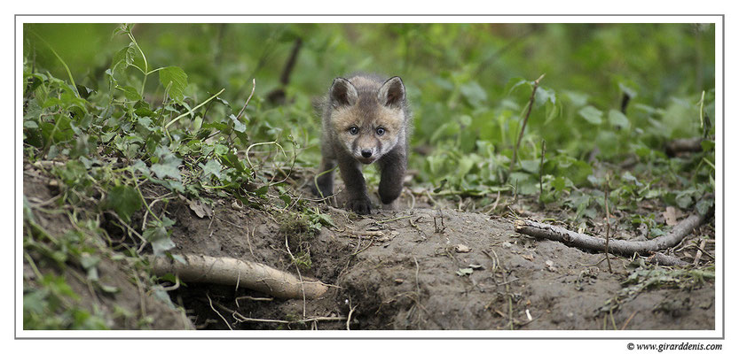 Photo Renard_22 (Renard roux -Vulpes vulpes - Red Fox)