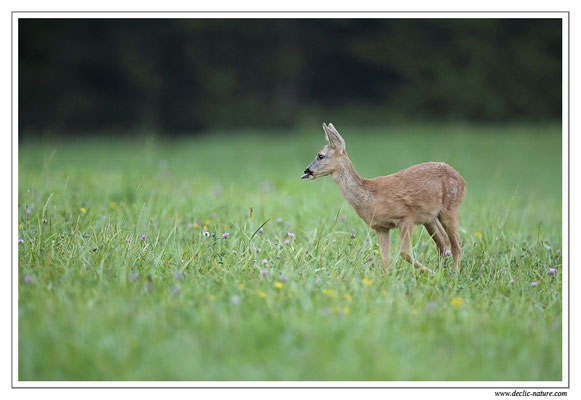 Photo Chevreuil_87 (Chevreuil - Capreolus capreolus - Roe Deer)