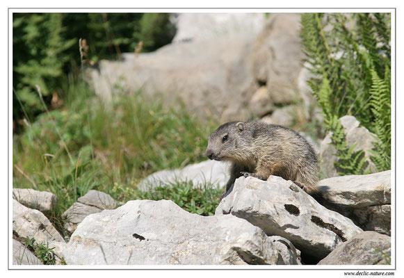 Photo Marmotte_M5