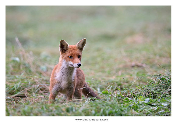 Photo Renard_162 (Renard roux -Vulpes vulpes - Red Fox)