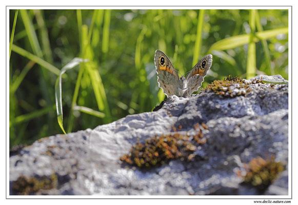 Némusien - Lasiommata marea (5)