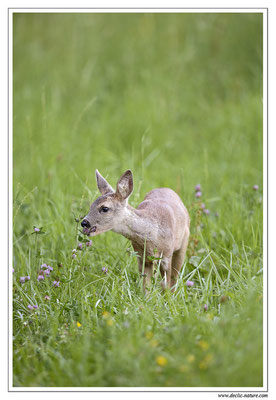 Photo Chevreuil_75 (Chevreuil - Capreolus capreolus - Roe Deer)
