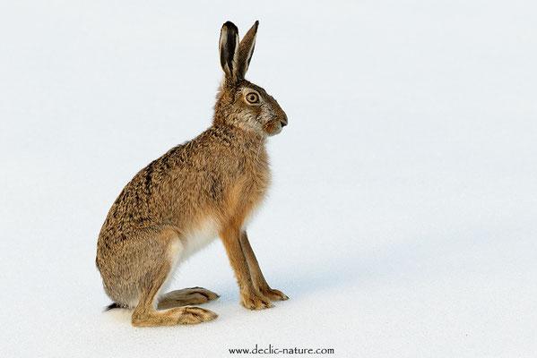 Lièvres - Lepus europaeus - Brown Hare (27)