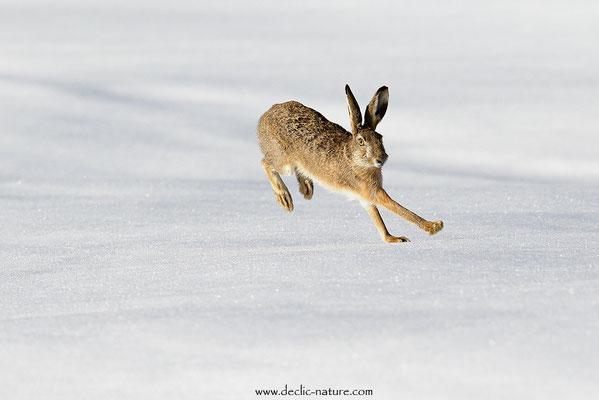 Lièvres - Lepus europaeus - Brown Hare (20)