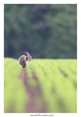 Lièvres - Lepus europaeus - Brown Hare (36)