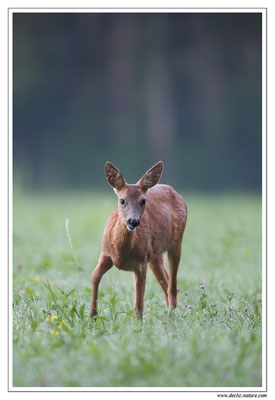 Photo Chevreuil_95 (Chevreuil - Capreolus capreolus - Roe Deer)