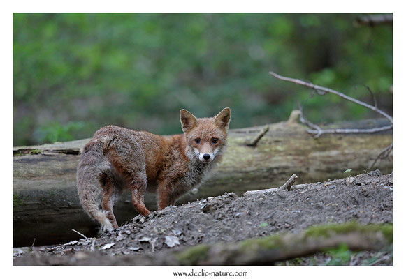 Photo Renard_187 (Renard roux -Vulpes vulpes - Red Fox)