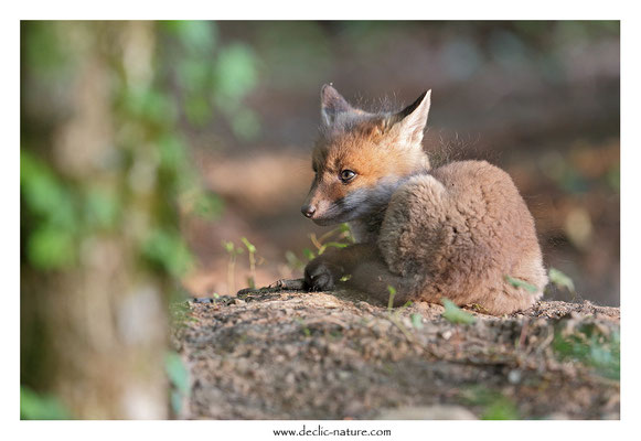 Photo Renard_114 (Renard roux -Vulpes vulpes - Red Fox)