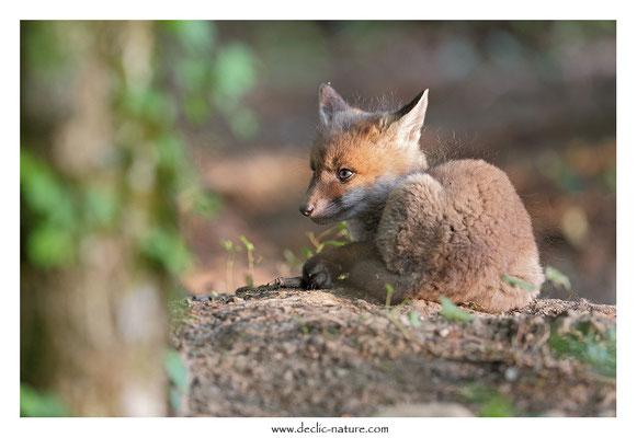 Photo Renard_114 (Renard roux -Vulpes vulpes - Red Fox)