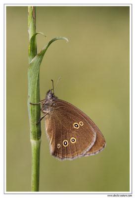 Tristan - Aphantopus hyperantus (2)