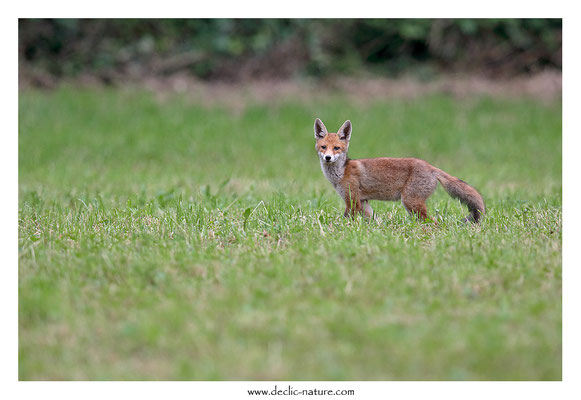 Photo Renard_156 (Renard roux -Vulpes vulpes - Red Fox)