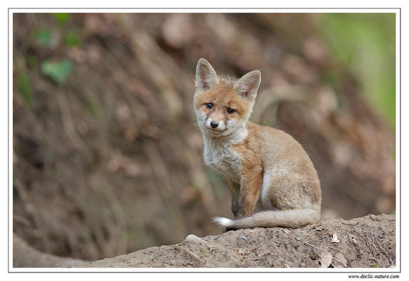 Photo Renard_98 (Renard roux -Vulpes vulpes - Red Fox)
