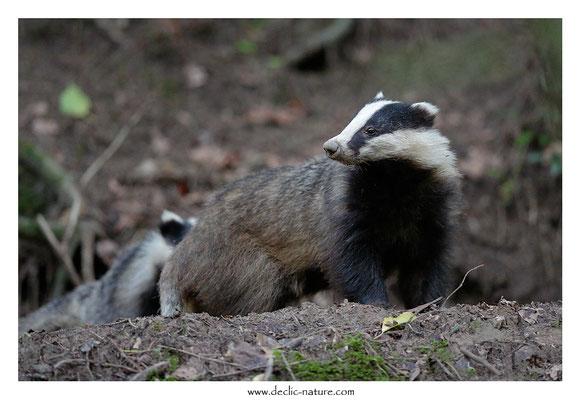 Photo_Blaireau_70 (Blaireaux - Meles meles - Eurasian Badger)