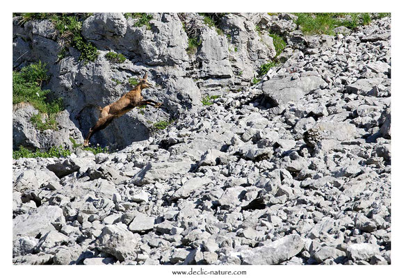 Photo Chamois_38 (Chamois - Rupicapra rupicapra )