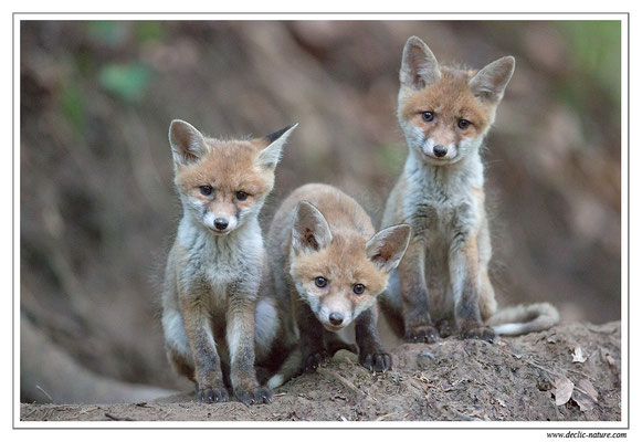 Photo Renard_92 (Renard roux -Vulpes vulpes - Red Fox)