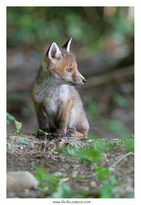 Photo Renard_109 (Renard roux -Vulpes vulpes - Red Fox)