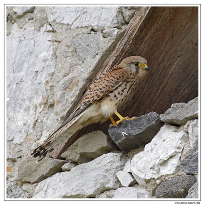 Photo 20 (Faucon crécerelle - Falco tinnunculus - Common Kestrel)
