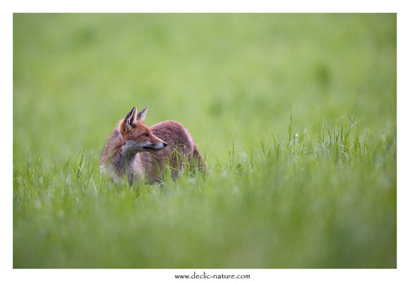 Photo Renard_142 (Renard roux -Vulpes vulpes - Red Fox)