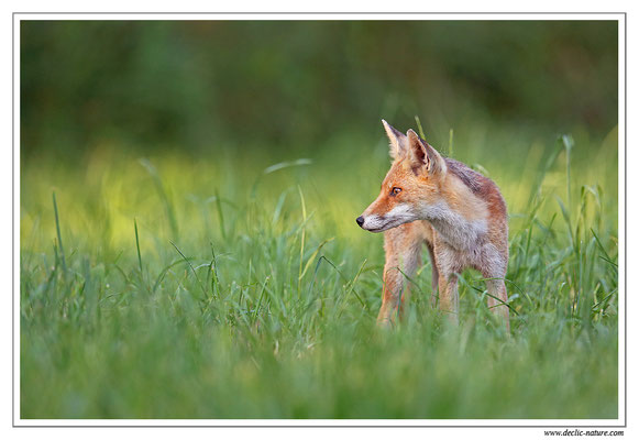Photo Renard_105 (Renard roux -Vulpes vulpes - Red Fox)