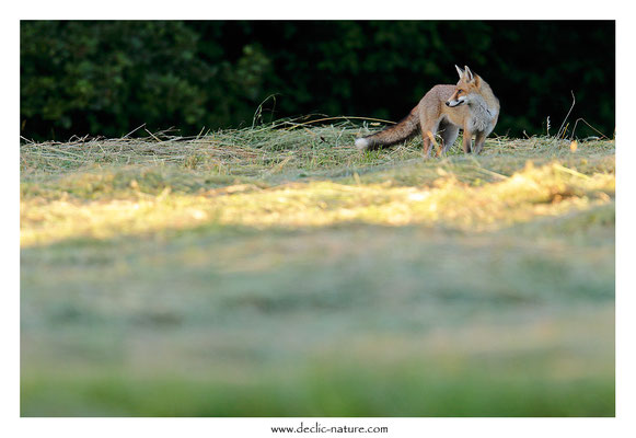 Photo Renard_189 (Renard roux -Vulpes vulpes - Red Fox)