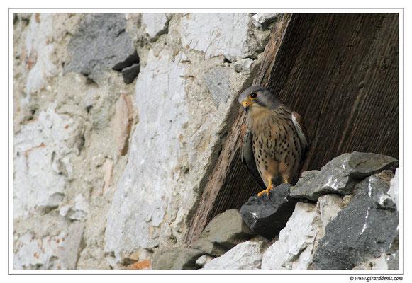 Photo 5 (Faucon crécerelle - Falco tinnunculus - Common Kestrel)
