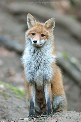 Photo Renard_177 (Renard roux -Vulpes vulpes - Red Fox)