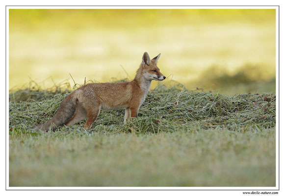 Photo Renard_69 (Renard roux -Vulpes vulpes - Red Fox)