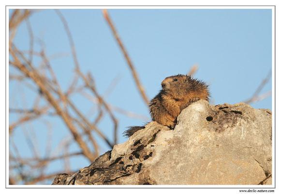 Photo Marmotte_34