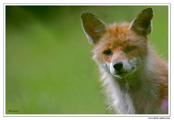 Photo Renard_32 (Renard roux -Vulpes vulpes - Red Fox)