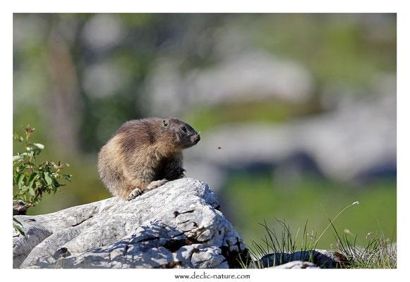 Photo Marmotte_59