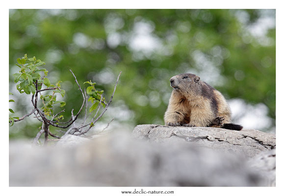 Photo Marmotte_38