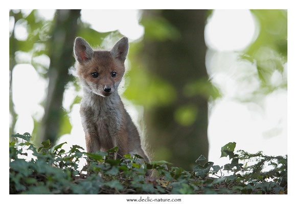 Photo Renard_133 (Renard roux -Vulpes vulpes - Red Fox)