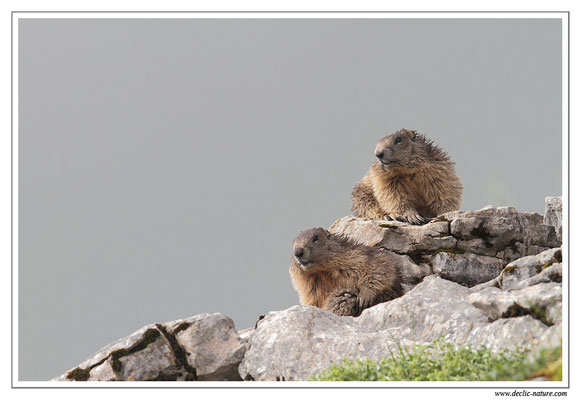 Photo Marmotte_11