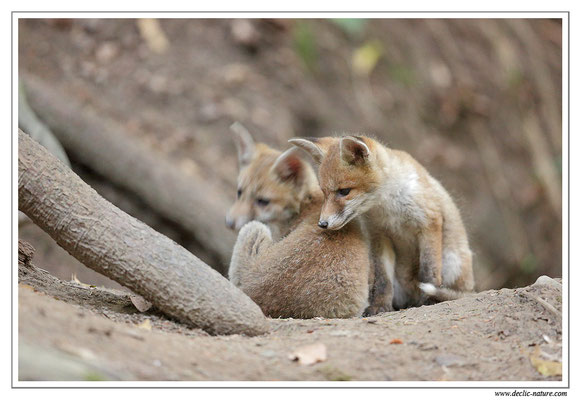 Photo Renard_89 (Renard roux -Vulpes vulpes - Red Fox)