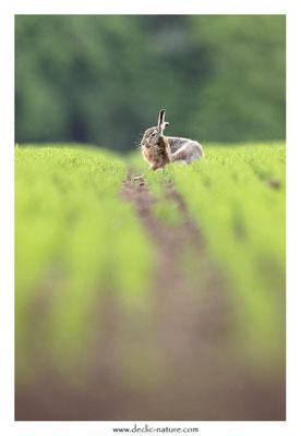 Lièvres - Lepus europaeus - Brown Hare (33)