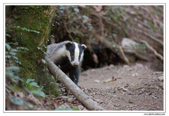 Photo_Blaireau_38 (Blaireaux - Meles meles - Eurasian Badger)