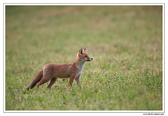 Photo Renard_107 (Renard roux -Vulpes vulpes - Red Fox)