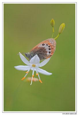 Satyrion - Coenonympha gardetta (2)
