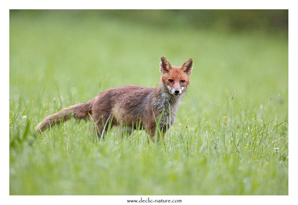 Photo Renard_138 (Renard roux -Vulpes vulpes - Red Fox)