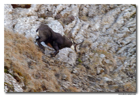Photo Chamois_21 (Chamois - Rupicapra rupicapra )