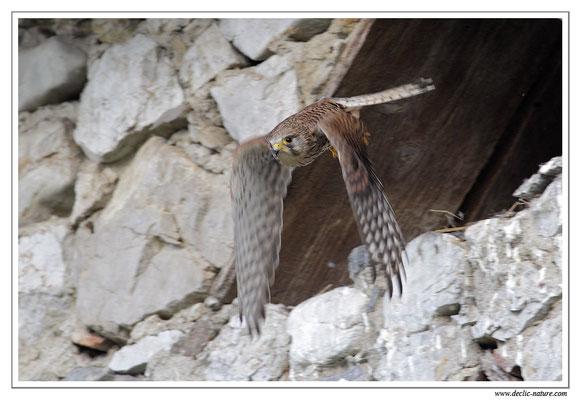 Photo 24 (Faucon crécerelle - Falco tinnunculus - Common Kestrel)