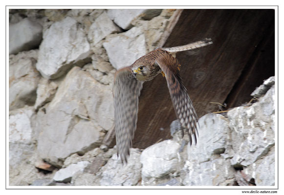 Photo 24 (Faucon crécerelle - Falco tinnunculus - Common Kestrel)
