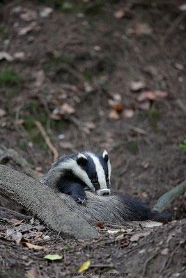 Photo_Blaireau_73 (Blaireaux - Meles meles - Eurasian Badger)