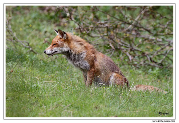 Photo Renard_34 (Renard roux -Vulpes vulpes - Red Fox)