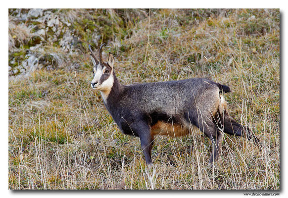 Photo Chamois_4 (Chamois - Rupicapra rupicapra )