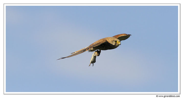 Photo 10 (Faucon crécerelle - Falco tinnunculus - Common Kestrel)