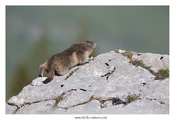 Photo Marmotte_36