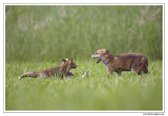 Photo Renard_55 (Renard roux -Vulpes vulpes - Red Fox)