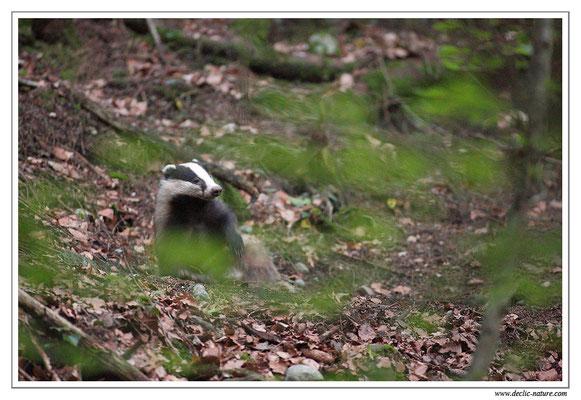 Photo_Blaireau_7 (Blaireaux - Meles meles - Eurasian Badger)