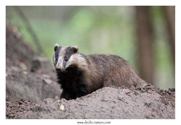 Photo_Blaireau_51 (Blaireaux - Meles meles - Eurasian Badger)